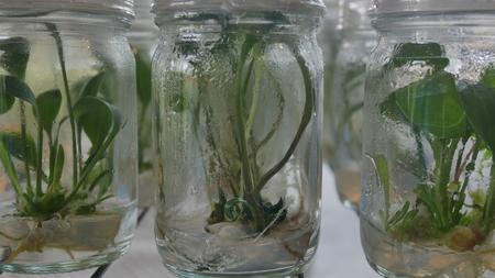 Green plants tissue culture in bottle.