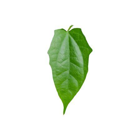 laurel clock, blue trumpet,vinelaurel-leaved thunbergia green leaf on white back ground.
