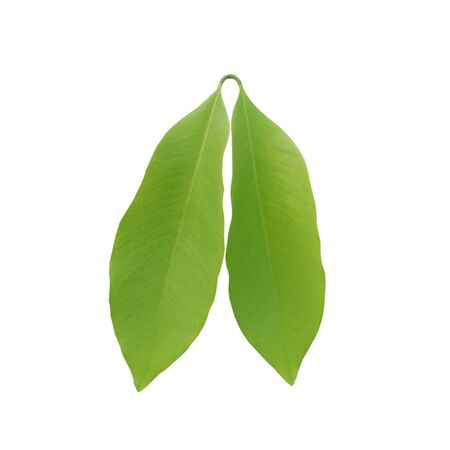 Close up green leaf on white background naturd concept.