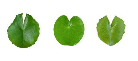Green leaf lotus flower on white background.