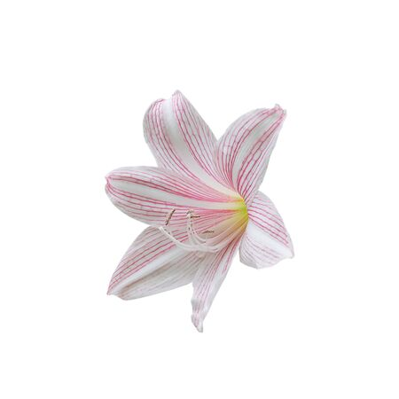 Beautiful Pink lilly star flowers on white background.