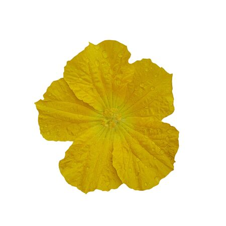 Close up Yellow zucchini flower on white background. 스톡 콘텐츠