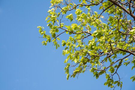 Green leaf of tree on blue sky background.