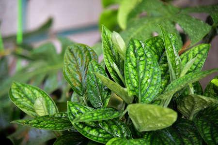 Green Monstera karsteniana green leaf in nature.