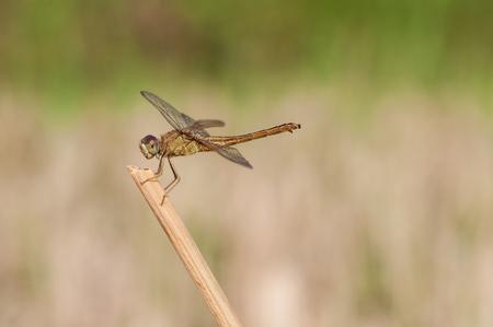 Yelow Dragonfly