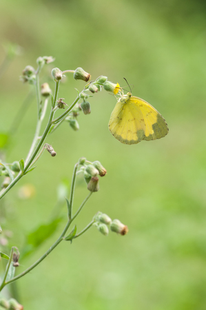 yelow butterfly Stock Photo