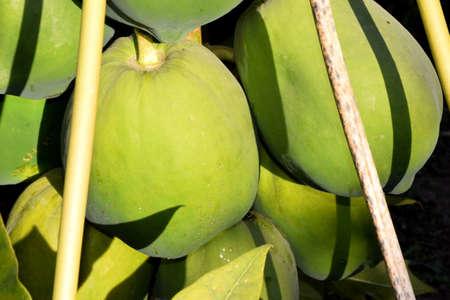 Papaya tree and bunch of fruits. Green papaya fruit on the tree. sunshine in the fields. Reklamní fotografie