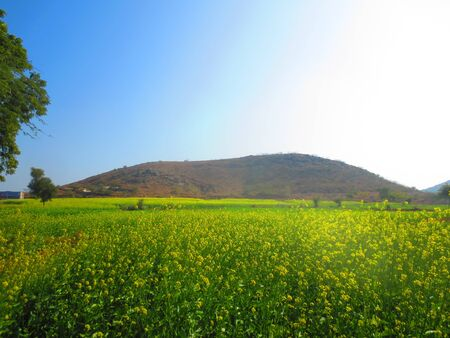 mustard field: mustard field Stock Photo