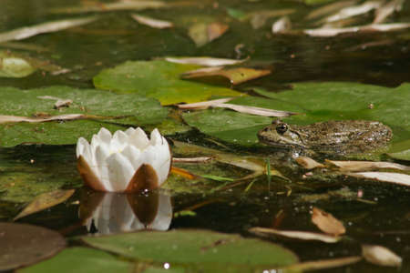 Green frog beside a flower of water lily Stock Photo - 874094