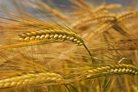 Ears of corn in a field in summer