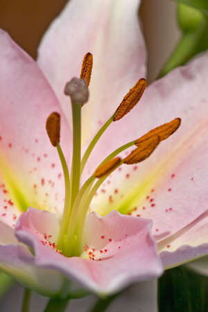 emanation: close-up of a flower of lily Stock Photo