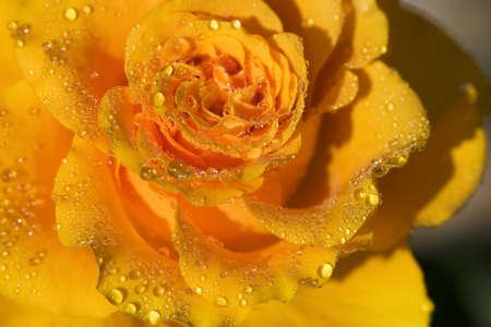 relent: Close-up di un fiore di rosa gialla coperto di rugiada  Archivio Fotografico
