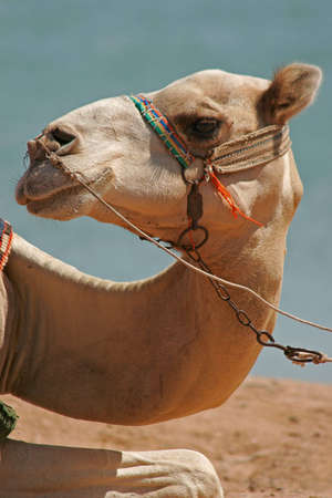sobriety: Portrait of a dromedary at the edge of the Red Sea Stock Photo