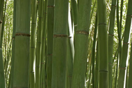 fibrous: Background of various bamboos in a garden