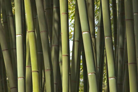 Background of various bamboos in a garden