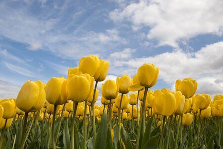 lemmer: Tulips in the Dutch Noordoostpolder