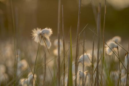 angustifolium: Common cottongrass Eriophorum angustifolium