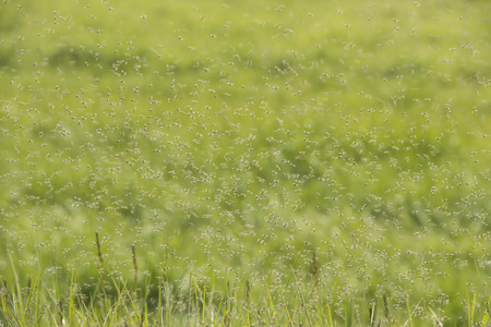 culicidae: Swarms of mosquitoes on a grass field in the Netherlands