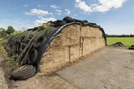 Traditional Dutch ensilage on a dairy farm in the North of the Netherlands