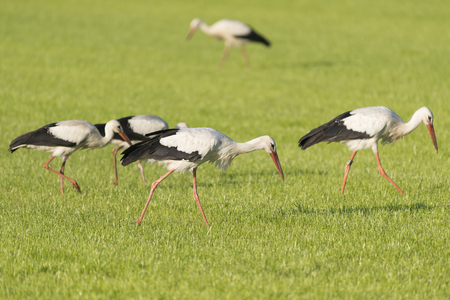 chordates: White Storks Ciconia Ciconia in a newly mowed meadow