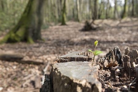 recently: Old tree stump with a shooting new plant