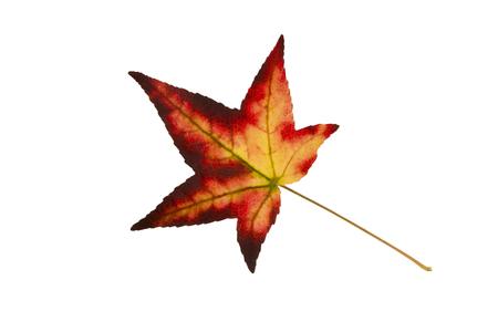 autumn colouring: Beautifully colored single autumn leaf of a American Sweetgum Liquidambar styraciflua Stock Photo