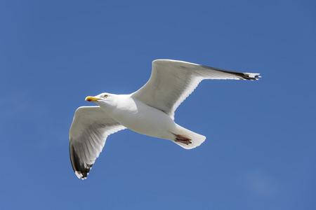 Seabird the Seagull family name laridae in flight against a blue sky