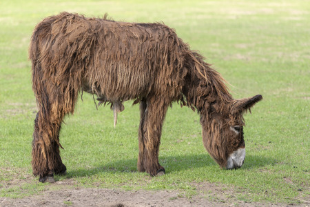 Long-haired donkey Equus africanus asinus grazing in a green meadow at a farm in the summer