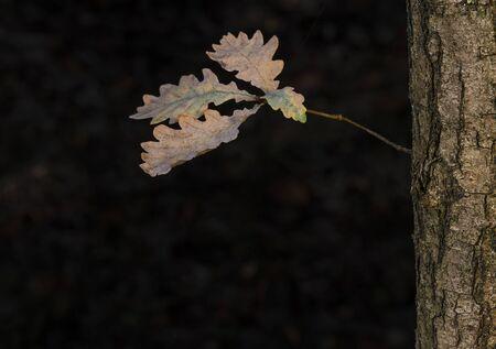 The last four leaves on an oak tree in an autumn-colored forest near Winterswijk in the Achterhoek in Netherlands