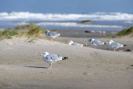 Sea gulls charadriiformes in the North sea on the wadden sea island of Terschelling, in the northern part of the Netherlands