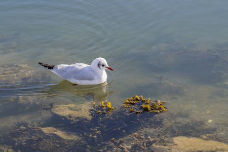 Gull Chroicocephalus swimming in the waters of a harbour in search of food   Reklamní fotografie
