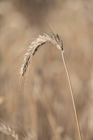 Detail of a single stalk of corn in brown orange tones