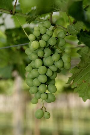 A Green Grape in the farm Stock Photo