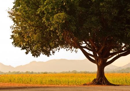 A Big Tree near Sunflower field Lop Buri, Thailand Фото со стока - 14357131