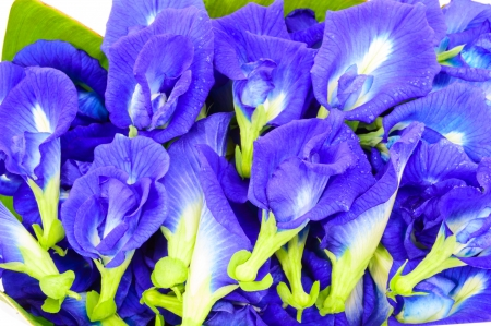 Clitoria ternatea known as the Butterfly Pea Flower, used for food coloring Stock Photo
