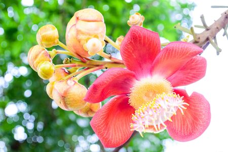 A beautiful Cannon ball tree flowers  Couroupita guianensis   photo