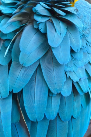 Close up of the feathers of a blue macaw parrot