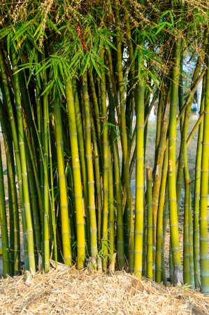 Bamboo stalks in tropical forest  photo