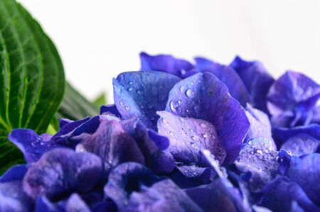 Blue Hydrangea Flower isolated on white background