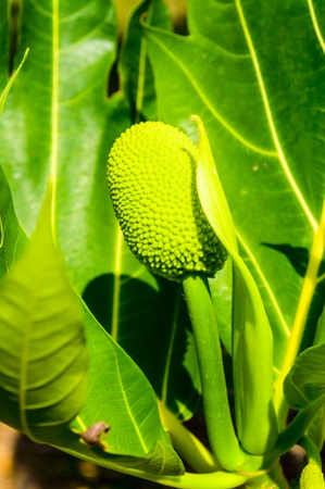 Green Breadfruit  Stock Photo