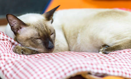 Cat Thai sleeping on red and white plaid pillow