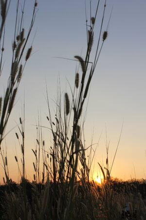 Hierba en el cielo de la puesta del sol claro