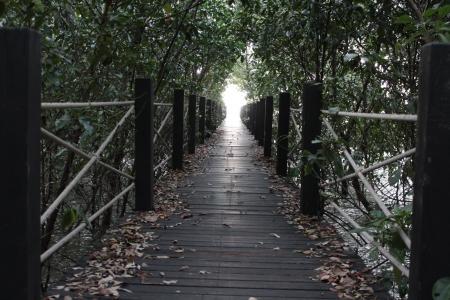 bridging the gap: Walkway at mangrove forest