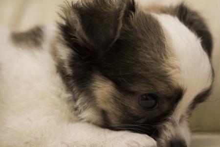 Chiwawa puppy dog on sofa