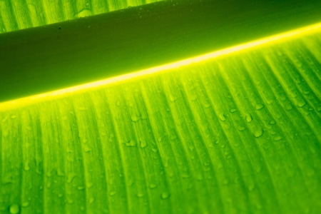 Abstract shot of banana leaf after the rain Stock Photo