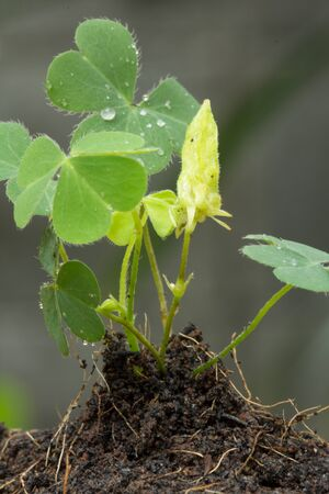Plantation of sprouts in soil photo