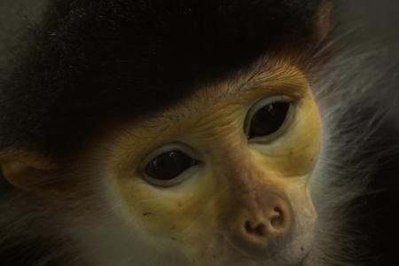 сooking: Douc Langur monkey close up