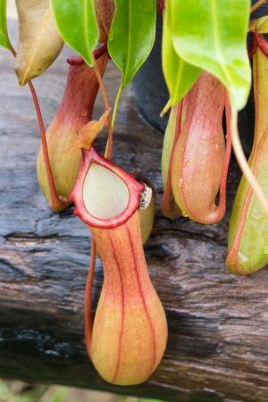 Tropical Pitcher Plant 免版税图像