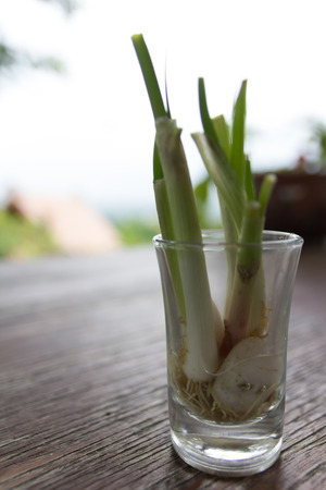 bulb and stem vegetables: grown spring onion in glass