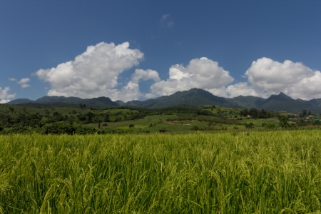 Rice filed in Thailand photo